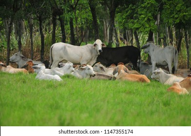 Livestock activity that grows every day in Panama being Brahman one of the strongest species