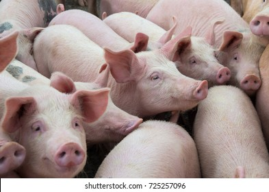 Livestock breeding. Group of pigs in farm yard.