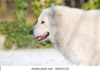 Livestock guardian dog in the snow