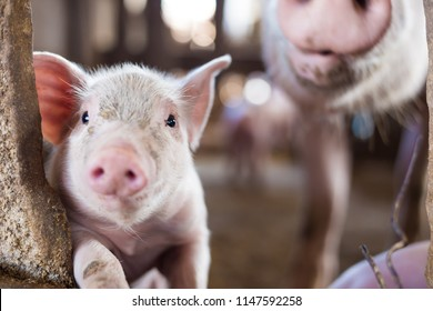 Livestock industry of small funny piglet in swine farm, Meat business