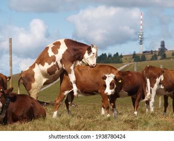 Livestock moment of a cow farm