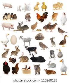 livestock; on a white background