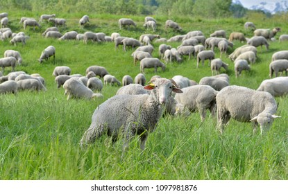 livestock of sheep in a alpine pasture
