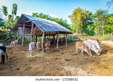 livestock in thailand cow eating straw in corral fence wood