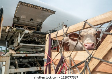 Livestock in wooden boxes secured by nettings being offloaded by a high-loader from the lower cargo hold of a Jumbo Jet freighter aircraft - Shutterstock ID 1829777567