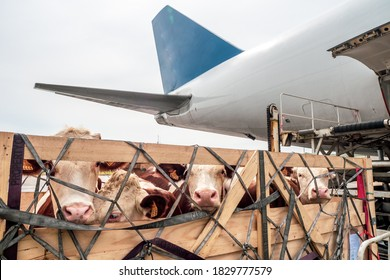 Livestock in wooden boxes secured by nettings being offloaded by a high-loader from the lower cargo hold of a Jumbo Jet freighter aircraft - Shutterstock ID 1829777579