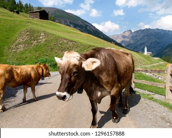 Livigno, Italy - July 21, 2017: Small herd of cows near the stable