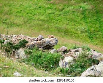 Livigno, Italy - July 21, 2017: Marmot on alert on a stone