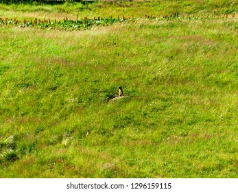 Livigno, Italy - July 21, 2017: Marmot on alert on a stone