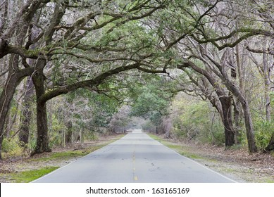 A living arch over a country highway in the South Carolina Low Country winter.