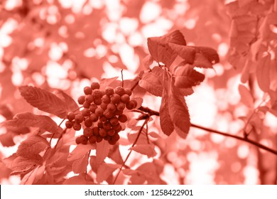 Living Coral color of the Year 2019. Beautiful autumn background with branches of wild ashberry. Inspiration nature. Autumn concept. For greeting cards with copy space