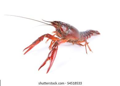 a living crawfish