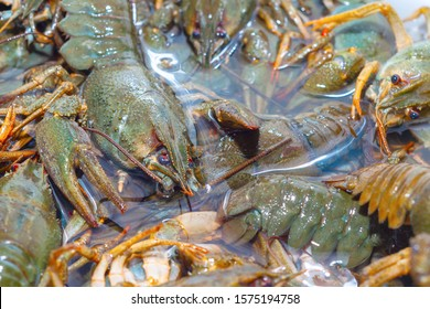 Living crayfish in water. Caught crayfish are washed in clean water for further preparation