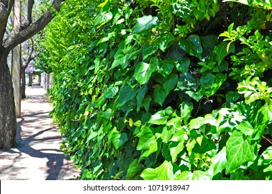 A living fence background, showing lush growth of plants covering an entire fence, wall