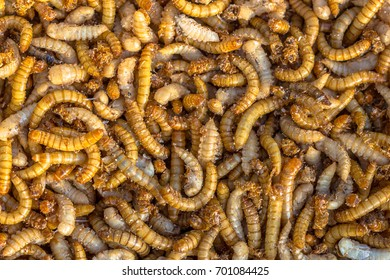 Living mealworm larvae background suitable as food