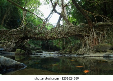 Living Root Bridge at Mawlynnong, Meghalaya, the cleanest village in Asia.
