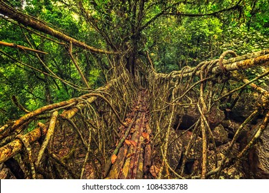 Living roots bridge formed by training tree roots over years to knit together near Nongriat village, cherrapunji, Meghalaya, India.