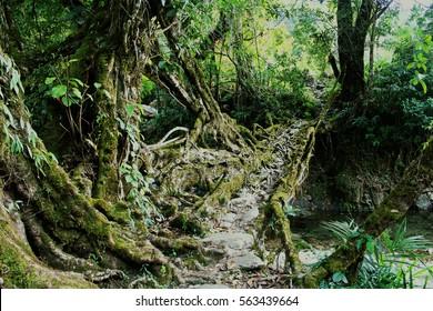 Living roots bridge: Living roots heritage village, Nongblai