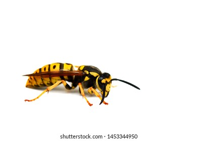 Living wasp from the side isolated on white background