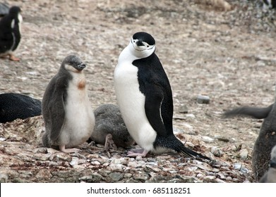 Livingston Island Antarctica, Adult chinstrap penguin with fledgling