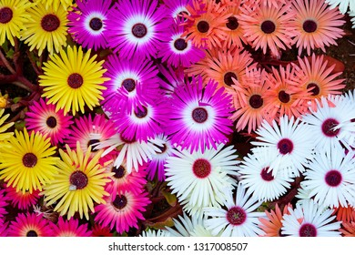 Livingstone daisy background