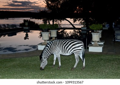 Livingstone, Zambia, Africa. July 2014. A zebra grazes in the gardens of the Royal Livingstone Hotel. The Zambesi River is in the background.