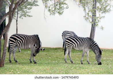 Livingstone, Zambia, Africa. June 2014.  Zebras grazing in the grounds of the Royal Livingstone Hotel in Zambia, Africa.