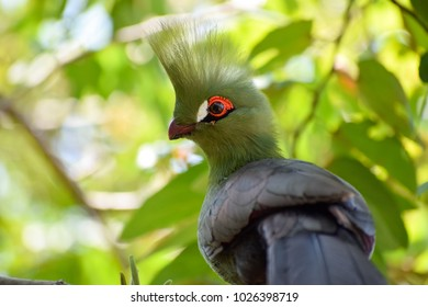 Livingstone's turaco ,Tauraco livingstonii, in the forest