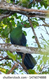 Livingston's turaco bird in green plumage in canopy of tree