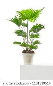 Livistona palm tree isolated on white background