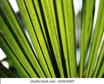 Livistona rotundifolia leaf under morning sun light spring