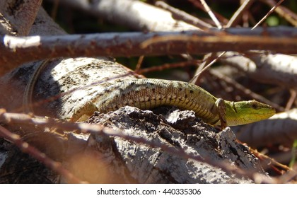 similar images stock photos  vectors of blindworm or