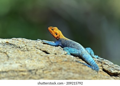 Lizard in the African savannah in their natural environments