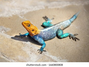 Lizard (agama) is in the wildlife reserve. Focus is on the lizard with the blurred natural background. Outdoor. National park, Kenya, Africa. Copy space.