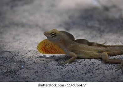 Lizard American chameleon