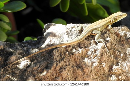 Lizard basking in the morning sun. Wall lizard Gallotia galloti (female) on rocks. Close up with copy space.