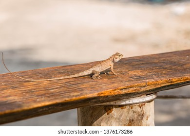 The lizard basks in the sun. Funny lizzard is watching you. Vietnam, Phu Quoc.
