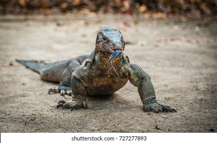 Lizard in the Borneo island