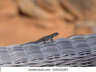 Lizard in Botswana