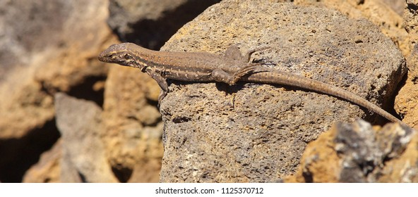 Lizard with a camouflage on a grey volcanic ground, symbol of La Palma´s island, Canary Islands, Spain