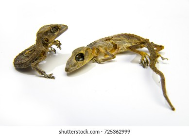 lizard carcass  on white background