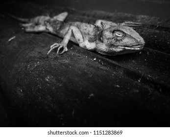lizard carcass on the wood texture floor in black and white and selective focus concept