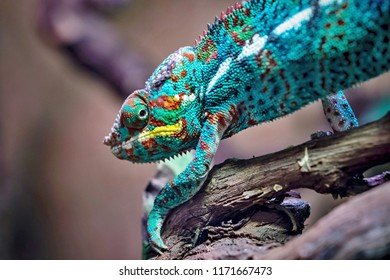 the lizard a chameleon closeup with a motley color creeps and looks
