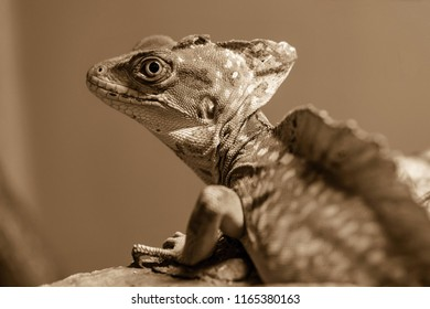 the lizard a chameleon with corrugated skin closeup in the foreground on a brown background sepia to stand on paws and looks opened by an eye.