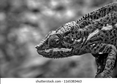 the lizard a chameleon with corrugated skin closeup in the foreground to stand on paws and looks opened by an eye of monochrome tone