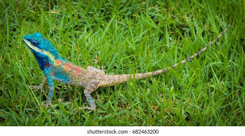 Lizard changing color to deep blue.