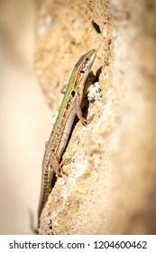 Lizard is climbing a wall