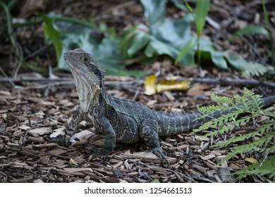 Lizard, Currumbin Wildlife Sanctuary, Australia