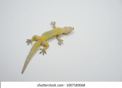 lizard dead on white background