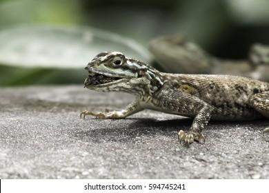 lizard eating bugs
